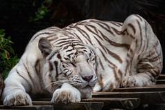 Weißer Tiger (Jutta Achrainer) Tags: achrainerjutta lissabon sonyrx10iv jardimzoologico weisertiger tiger zoo