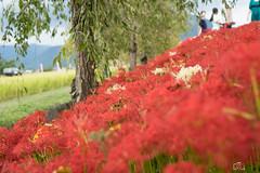 DSC02947 (umex_rokuroh) Tags: cluster amaryllis autumn japan hyogo flower red white yellow beautiful