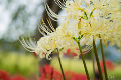DSC02952 (umex_rokuroh) Tags: cluster amaryllis autumn japan hyogo flower red white yellow beautiful