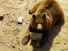 Oso pardo (Marisa Tárraga DV) Tags: españa spain murcia terranatura zoo animal osopardo grizzly ngc fujifilmsl300 naturaleza nature