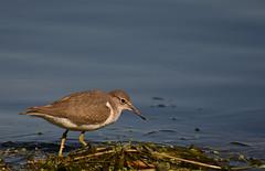 Chevalier grivelé / Spotted Sanpiper (rcomard3) Tags: oiseau bird chevalier grivelé sanpiper spotted