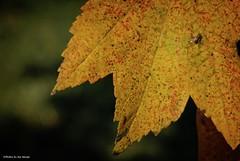 Here comes October.... (Joe Hengel) Tags: herecomesoctober leaf bokeh fall fallcolors miltonde milton de delaware sussexcounty tree
