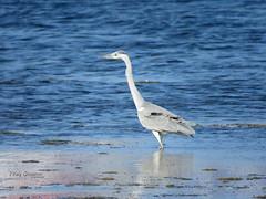 Grey Heron (Ardea cinerea) (Vitaly Giragosov) Tags: greyheron ardeacinerea waterbird blacksea crimea sevastopol russia рф севастополь крым чёрноеморе сераяцапля