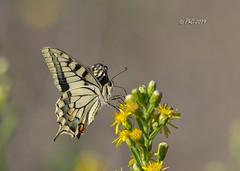 papillon Machaon sur fleur de seneçon (Philippe30670) Tags: macro gard papillon fleur seneçon lépidoptère papilionidae machaon