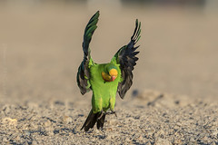 Male Superb Parrot landing, Gungahlin, ACT (danny.mccreadie2) Tags: malesuperbparrotlanding gungahlin act