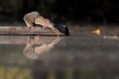 ''Miroir,miroir!'' Héron vert-Green heron (pascaleforest) Tags: canada quebec faune wildlife wild nature nikon animal bird oiseau