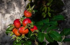 Des feuilles et des fruits (balese13) Tags: d5500 nikonpassion saintjeandugard tamronaf16300mmf3563dillvcpzdmacrob016 yourbestoftoday fenêtre fruit green leaf maisonrouge nikon nikonistes orange pixelistes red rouge tamron vert balese 500v20f 1000v40f 1500v60f