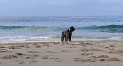 Benni on her birthday (Kerri Lee Smith) Tags: benni dog canine labradoodle beach lagunabeach morning summer sand ocean