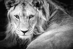 She-Lion (Gari VALDEN) Tags: lion she lionne femelle fauve nature felin felidae canon 5dmarkiii 300mm 2 8isii gari valden black white photography portrait noir et blanc monochrome 2019 france suisse switzerland explore explored