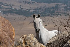Holding gaze (gilliesavo. Catching up :)) Tags: horse capture wild nature spain rocks portrait moment beauty animals