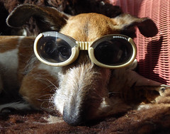Doggles 2 (Durley Beachbum) Tags: odc dog doggles shades terriers