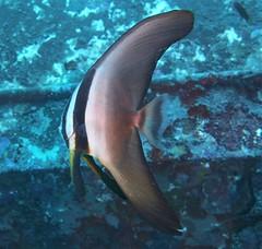 Platax teira (kmlk2000) Tags: dc2000 sealife uwpics lemondedusilence plongée ocean sea underwater reef récifal sousmarine marine beauty biology diving padi
