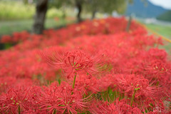 DSC02954 (umex_rokuroh) Tags: cluster amaryllis autumn japan hyogo flower red white yellow beautiful