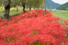 DSC02955 (umex_rokuroh) Tags: cluster amaryllis autumn japan hyogo flower red white yellow beautiful