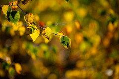 Changing (microwyred) Tags: autumn events season nature wyreforest day places beautyinnature nopeople woodland plant forestwoods colorimage tree vibrantcolor forest outdoors closeup lushfoliage sunlight leaf yellow greencolor branch