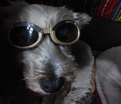 Doggles (Durley Beachbum) Tags: odc dog doggles shades terriers