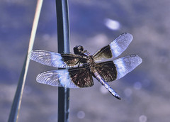 Dragonfly (divagoretti) Tags: dragonfly insect wings flight freedom