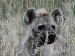 THE BONE CRUSHER (eliewolfphotography) Tags: hyena hyenas animals africa african wildlife wildlifephotographer wildlifephotography nature naturelovers nikon naturephotography natgeo naturephotographer natgeowild safari serengeti serengetinationalpark safariphotography travel tanzania