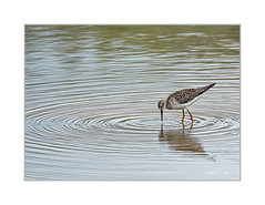 Centred (janet.capling) Tags: summer centre newhamburg lake nature water ripples waterbird sandpiper