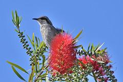 Singing Honeyeater (philk_56) Tags: western australia perth clydesdale reserve south foreshore bird singing honeyeater bottlebrush plant flower