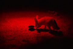Fennec fox under infrared lamp (Korkeasaaren eläintarha) Tags: korkeasaareneläintarha korkeasaarizoo helsinkizoo korkeasaari högholmen eläimet nisäkkäät aavikkokettu fennecfox fennec