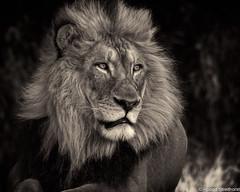 Afternoon Delight (Robert Streithorst) Tags: cincinnatizoo john lion male mono robertstreithorst zoosofnorthamerica