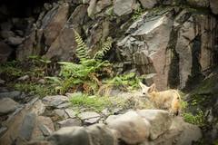 Fennec fox male (Korkeasaaren eläintarha) Tags: korkeasaareneläintarha korkeasaarizoo helsinkizoo korkeasaari högholmen eläimet nisäkkäät aavikkokettu fennecfox fennec