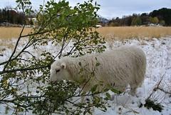 """ a helping hand "".... (KvikneFoto) Tags: nikon1j2 lam lamb ulla snø snow høst autumn fall"