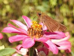Ocola Skipper (annette.allor) Tags: butterfly ocolaskipper skipper panoquinaocola