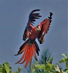 Incoming (rlt64) Tags: birds parrots wildlife costa rica