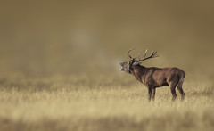 Early in the morning (hardy-gjK) Tags: deer hirsch red rothirsch mann male natur nature wildlife animal mammal tier brunft brunftzeit rutting season nikon hardy