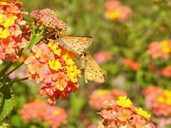 I Really Like Your Perfume (annette.allor) Tags: fieryskipper butterfly lantana hylephilaphyleus