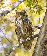Great horned owl wyoming (1 of 1) (Jami Bollschweiler Photography) Tags: great horned owl wyoming bird photography utah photographer wildlife birding