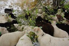 sauer / sheep (KvikneFoto) Tags: nikon1j2 sau sheep snø snow autumn høst fall
