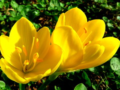 IMG_0003x (gzammarchi) Tags: italia natura campagna ravenna borgomontone fiore crocus coppia colore giallo poesia haiku