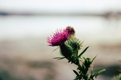 Time has told me, you're a rare, rare find. A troubled cure, for a troubled mind.. (erlingraahede) Tags: bedifferent summer shoot melancholic poetic canon vsco bokeh mood thistle flower