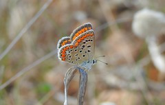 Southern Common Blue Butterfly (Polyommatus celina) (Nick Dobbs) Tags: southern common blue butterfly polyommatus celina insect malta female