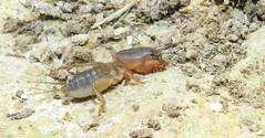 Mole Cricket (Gryllotalpa Spp) (Nick Dobbs) Tags: mole cricket gryllotalpa spp insect nymph quindecim malta