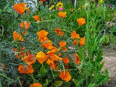Backyard Garden (davidseibold) Tags: america backyard bakersfield california californiapoppy colororange coloryellow coreopsis garden jfflickr kerncounty photosbydavid plant platoct postedonello postedonflickr unitedstates usa wildflower