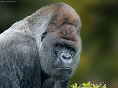 Bokito (fnndntr) Tags: monkey primates apes silverbackgorilla zilverruggorilla blijdorp rotterdamzoo bokito gorilla