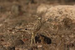 stone curlew (simonrowlands) Tags: stonecurlew burhinusoedicnemus arid arable desertbirds deserts semidesert lanzarote lanzarotebirds