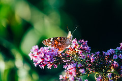 Lunch break (Nicola Pezzoli) Tags: italy italia lombardia val seriana bergamo leffe gandino nature natura farfalla butterfly macro flower fiore