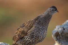 Natal Spurfowl (leendert3) Tags: leonmolenaar southafrica krugernationalpark wildlife wilderness wildanimal nature naturereserve naturalhabitat birds natalspurfowl naturethroughthelens ngc npc
