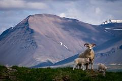 family Iceland scene (bernd obervossbeck) Tags: iceland family familie island natur nature berg mountain gras grass schnee snow sheep lamb lambs lamm lämmer schaf schafe familiär familiar fujixt1 berndobervossbeck idylle idyll scandinavia skandinavien xf55200mmf3548rlmois