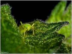 Le puceron vert (didier_chantal49) Tags: faune insectes nature pucerons mpe65mm macroinsectes
