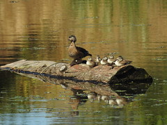 Wood duck babies (JSB PHOTOGRAPHS) Tags: woodduck dscn0732 babies nikon p900 deltaponds eugeneoregon
