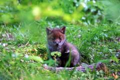 Spring memory (Kaïyah) Tags: fox kit cub young baby vulpes renard spring ardennes forest den mammal canid