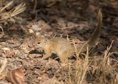 Tree Squirrel - Paraxerus cepapi (Gary Faulkner's wildlife photography) Tags: treesquirrel paraxeruscepapi