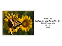 "Sunflowers and Butterflies #1 • <a style=""font-size:0.8em;"" href=""http://www.flickr.com/photos/124378531@N04/48827682257/"" target=""_blank"">View on Flickr</a>"