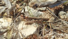 Slender Red-winged Grasshopper (Acrotylus patruelis) (Nick Dobbs) Tags: slender redwinged grasshopper acrotylus patruelis insect malta garrigue acrididae orthoptera